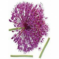 Ozdobné Nálepky 46367 Kds 50x70 Onion Flower